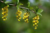 Wildbiene an gelben Blüten von Berberitze