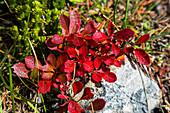 Alpen-Bärentraube in Herbstfarben