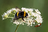 Erdhummel und Käfer auf Blüte