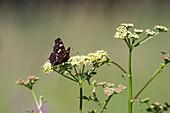 Landkärtchen Männchen auf Blüte vom Baldrian