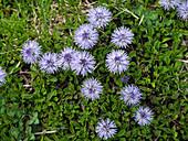 Südliche Kugelblume mit blauen Kugelblüten