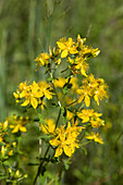 Blühendes Johanniskraut in der Natur
