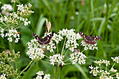 Landkärtchen-Schmetterlinge und Biene auf Blüte vom Wiesenkerbel
