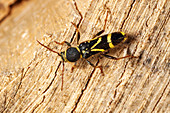 Gemeiner Widderbock - Käfer