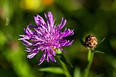 Gemeine Flockenblume, Wiesenflockenblume, Blüte und Knospe