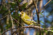 Grünfink, Grünling, Männchen auf Zweig