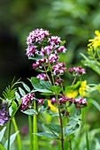 Dost, Wilder Majoran mit rosafarbenen Blüten