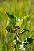 Faulbaum mit unreifen Beeren