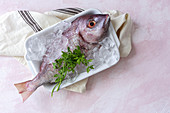 Raw Pagrus major fish in plate with ice cubes and fresh parsley