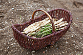 Freshly harvested green and white asparagus in a wicker basket