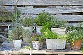 Assorted varieties of thyme