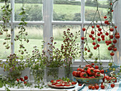 An arrangement of various types of tomatoes and oregano on a windowsill