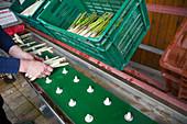 Freshly harvested green and white asparagus