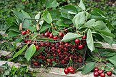 Freshly picked sweet cherries in a wire basket
