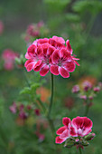 Geranienblüte - Duftgeranie 'Mrs. Ninon' mit blumig-fruchtigem Duft