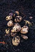 Frisch geerntete Kartoffeln auf dem Acker