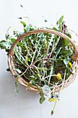 Freshly harvested dandelions in a wicker basket