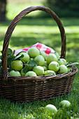 Frisch gepflückte grüne Äpfel in Weidenkorb