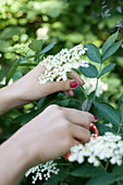 Picking elderflowers