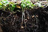 Plants roots in soil
