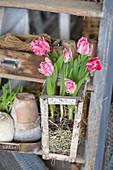 Gefüllt blühende Tulpen