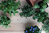 Miit, parsley, roasemary, woodruff, lemon balm and thyme