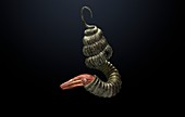Didymoceras ammonite, illustration