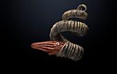 Eubostrychoceras ammonite, illustration