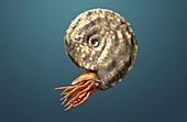 Placenticeras ammonite, illustration