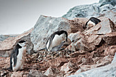 Chinstrap penguins with chicks