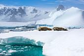 Crabeater seals on sea ice
