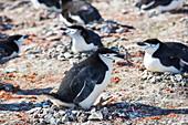 Chinstrap penguins on nests