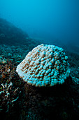 Bleached hard coral colony