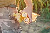 Agronomist holding corn on the cob