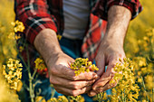 Farmer's hand holding blooming rapeseed plant