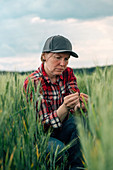 Concerned wheat farmer inspecting crop quality