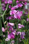 Violett-pinke Bohnenblüten