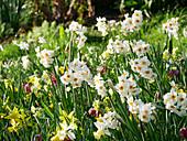 Blumenwiese mit Narzissen, Tazetten-Narzisse 'L'innocence' und Schachbrettblumen im Frühling