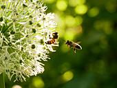 Wildbiene an Zierlauchblüte, Honigbiene im Anflug