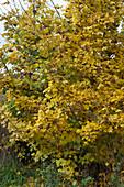 Feldahorn mit gelbem Herbstlaub