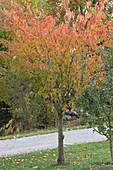Zierkirsche in Herbstfarben