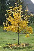 Kleines Apfelbäumchen mit gelbem Herbstlaub im Rasen