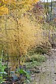 Spargelkraut an Rankstele in Herbstfärbung im Beet