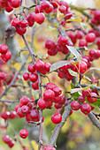Zierapfelbaum 'Paul Hauber' mit roten Früchten