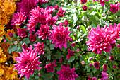 Chrysantheme 'Senso'