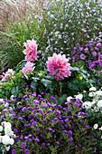 Herbstbeet mit Astern, Dahlie 'Lavender Ruffles' und Chrysanthemen