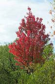 Rotahorn mit leuchtend roter Herbstfarbe