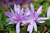 Herbstzeitlose 'Waterlily'