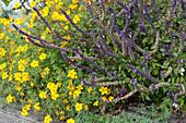 Bienenfreundliche Kombination: Gewürztagetes und Strauchbasilikum