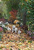 Buntes Herbstlaub auf schattigem Weg zwischen Stauden, Sträuchern und Bäumen, Hunde Hera und Zula